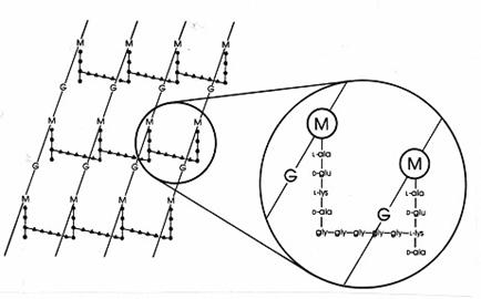 Фиг. 1. Схема на пептидогликана на Staphylococcus aureus. G = N-ацетилглюкозамин; M = N-ацетилмурамова киселина; L-ala = L-аланин; D-ala = D-аланин; D-glu = D-глутаминова киселина; L-lys = L-лизин. Интерпептидният мост е глицинов пентапептид, свързан с карбоксилната група на D-аланина в страничната тетрапептидна верига.