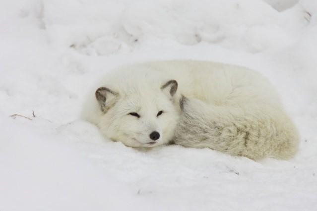 Животните в екстремни условия: Адаптации на ендотермични бозайници към гореща и студена околна среда