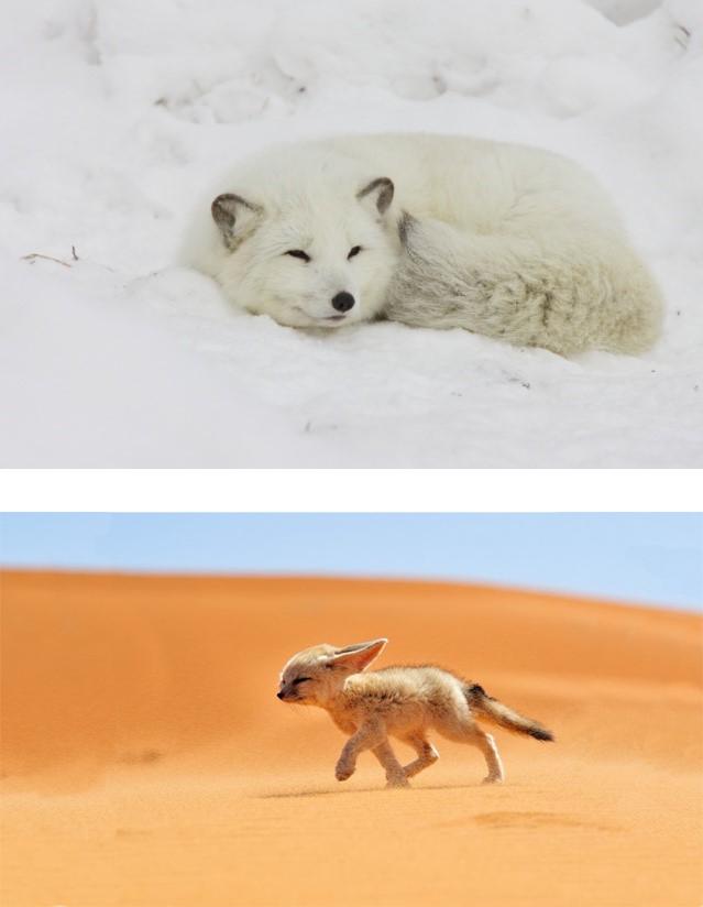 Фиг. 1. Примери на два вида лисици (лисица Фенек (Vulpes zerda) и Арктическа лисица (Vulpes lagopus)) адаптирали се към пустинни и арктически местообитания.