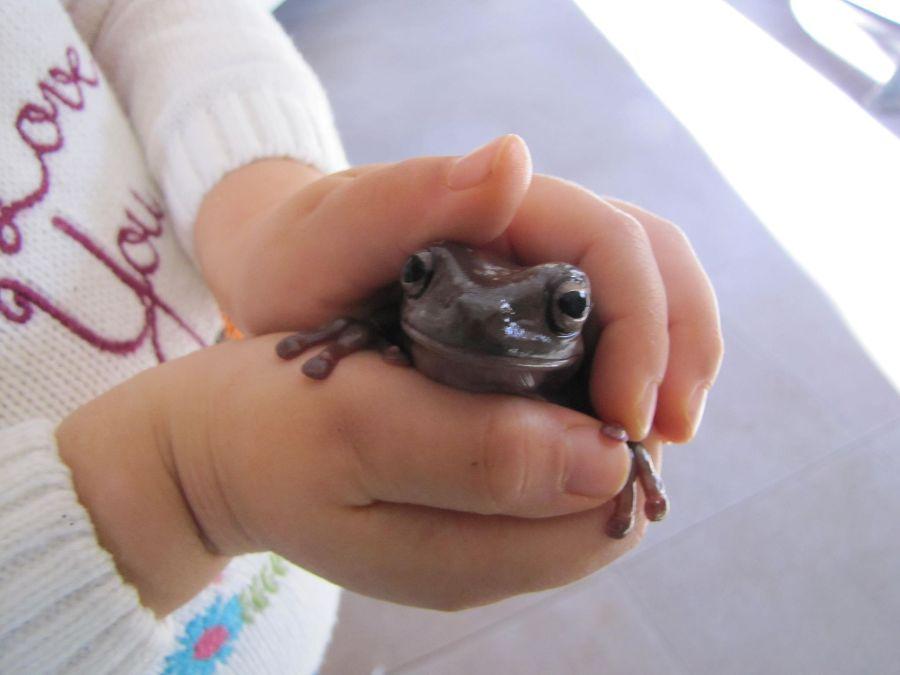 Австралийска дървесна жаба (Litoria caerulea).
