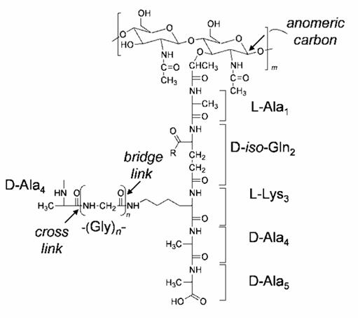 Фиг. 2. Химична структура на пептидогликана на Staphylococcus aureus. Броят на глициновите остатъци в интерпептидния мост е n = 5.