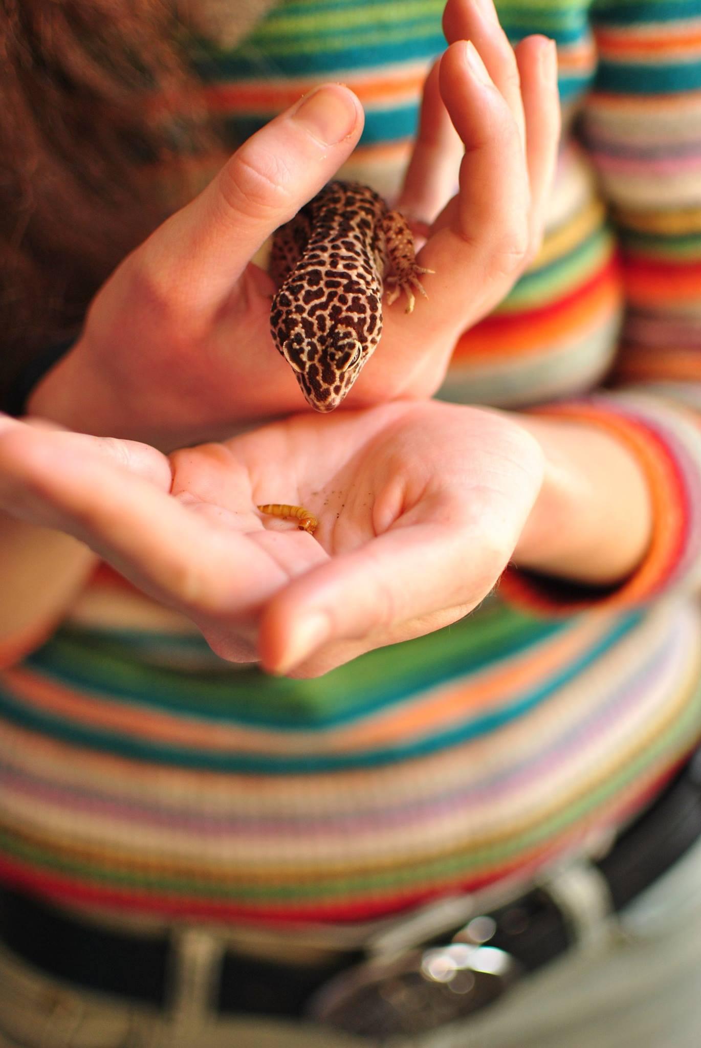 Леопардов гекон (Eublepharis macularius). Снимка: Дарина Ташкова