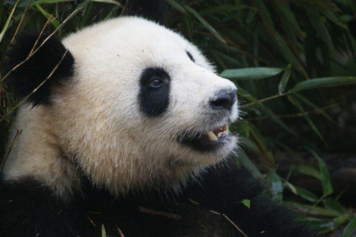 Проучване предполага, че езикът на пандите е еволюирал, за да ги предпазва от токсини