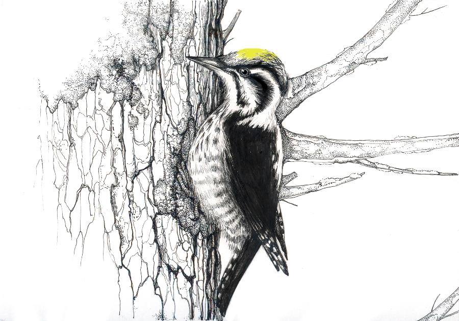 Деница Пенева. Трипръст кълвач (Picoides tridactylus). Туш. 2017.