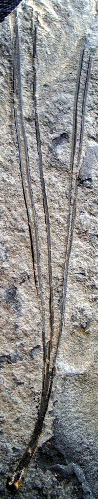 Pinus palaeorhodopensis; Palamarev et Petkova