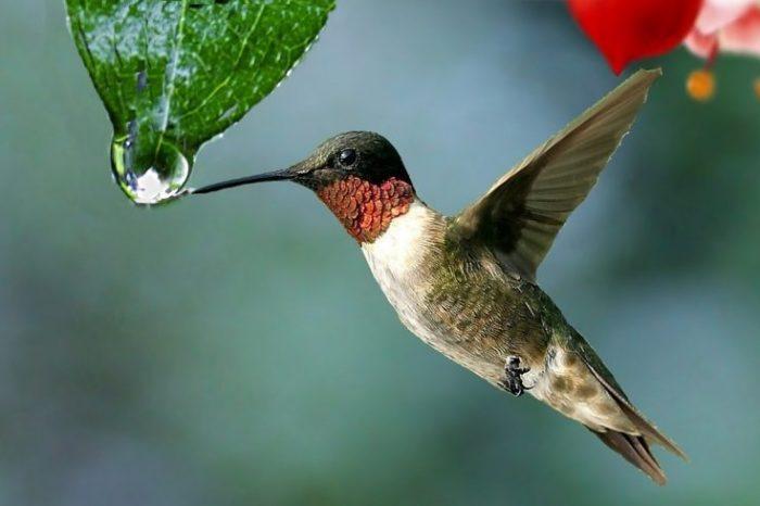 Състоянието на околната среда – определящ фактор за уязвимостта на карибските колибрита