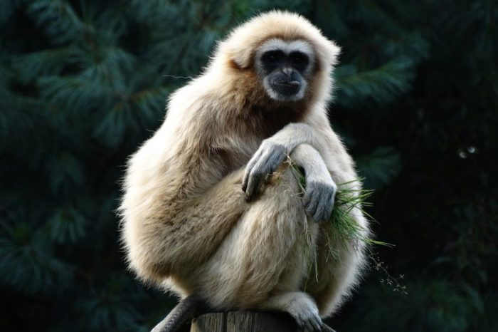 Древен гибон може да се окаже първият изчезнал вид човекоподобна маймуна от Ледената епоха насам