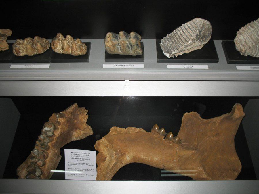 Долна челюст от дейнотериум, зъби с отрязани корени и зъби от преживни животни. Снимка: Росица Ташкова