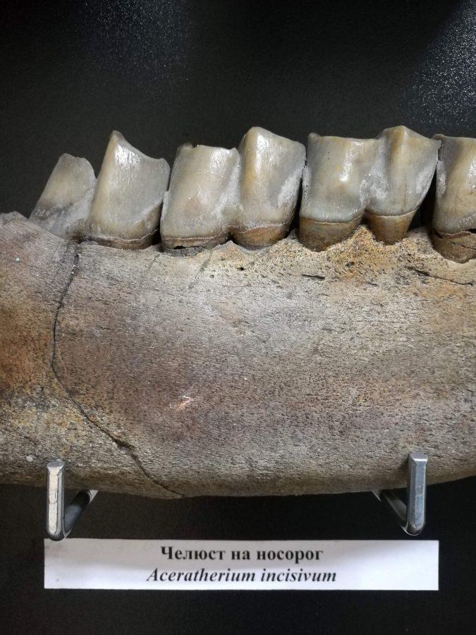 Челюст на носорог. Неозой. Снимка: Илко Качаров
