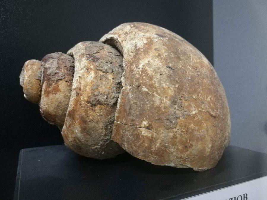 Фосилен охлюв. Мезозой. Снимка: Илко Качаров
