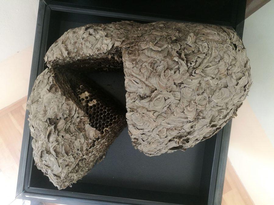 Гнездото на оси, гледано отгоре. Снимка: Илко Качаров