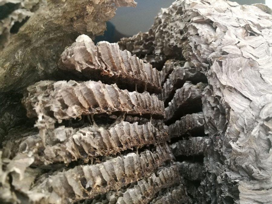 Гнездото на оси, гледано отвътре. Снимка: Илко Качаров