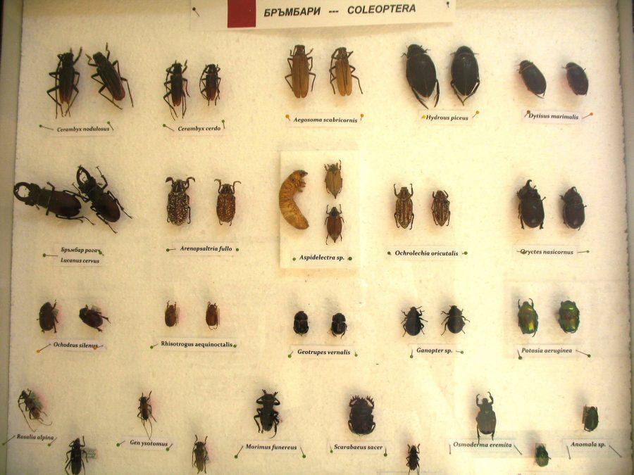 Майските бръмбари са изложени в средата, а златките – по-долу в дясно. Снимка: Росица Ташкова