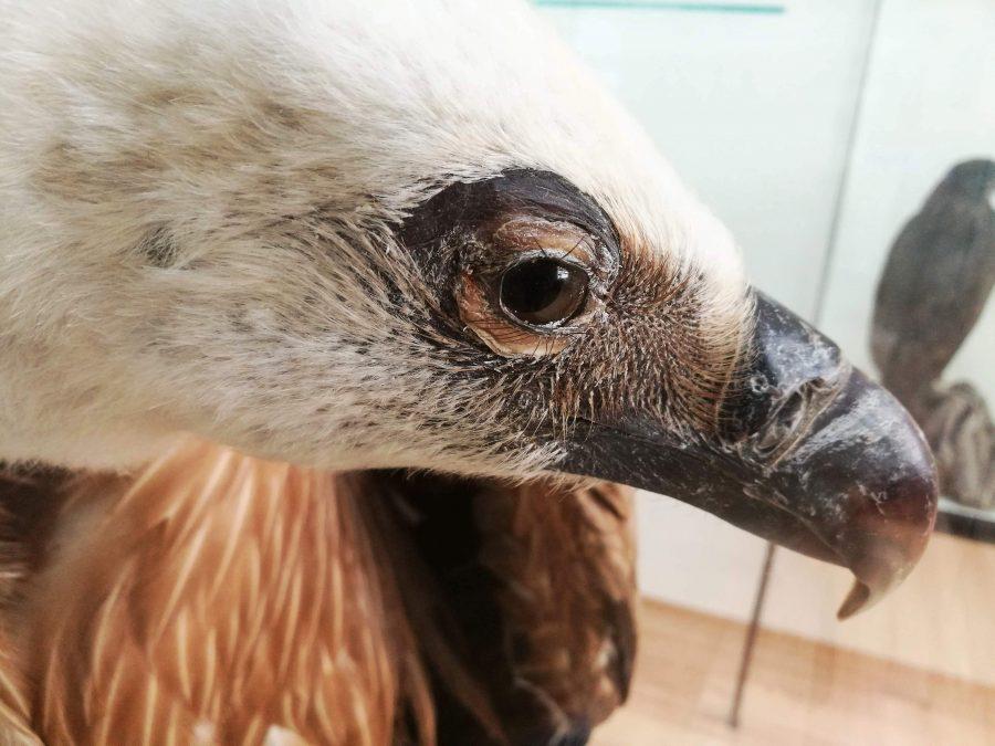 Белоглавият лешояд. Снимка: Илко Качаров