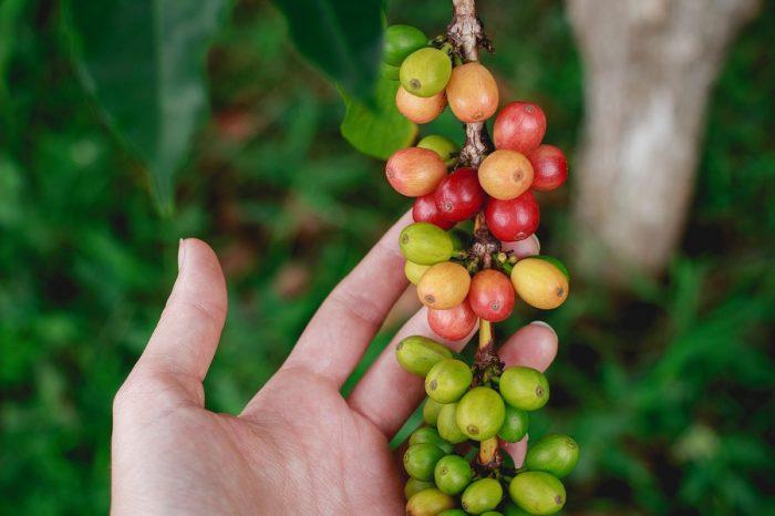 [ПОДКАСТ] Криза с кафето? 60% от диворастящите видове кафе може да изчезнат, някои от тях в рамките на десетилетия