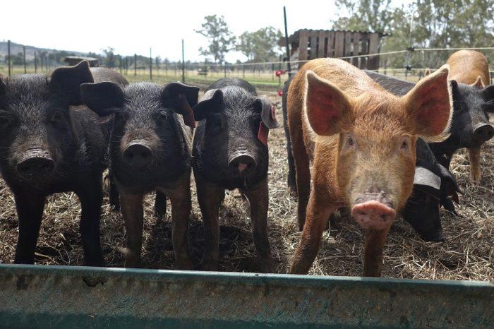 Разпространението на чумата по свинете в Китай ускорява изследванията за създаването на ваксина