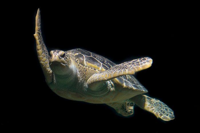Застрашените зелени морски костенурки може би се завръщат в САЩ