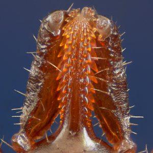 Устен апарат на кърлеж от вида Ixodes ricinus. Credit: micro_pix, flickr, (CC BY-NC-SA 2.0)