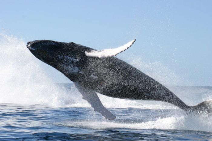 [АУДИО] Китовете – какво знаем (или пък не) за тези необикновени животни