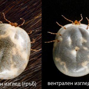 Добре нахранен женски кърлеж от вида Amblyomma americanum. Дорзален и вентрален изглед. Съществува метод, при който се изчислява съотношението на скутума към идиосомата на кърлежа и се получава т. нар. скутум индекс, с помощта на който може да се изчисли приблизително времето на престой на кърлежа върху гостоприемника.