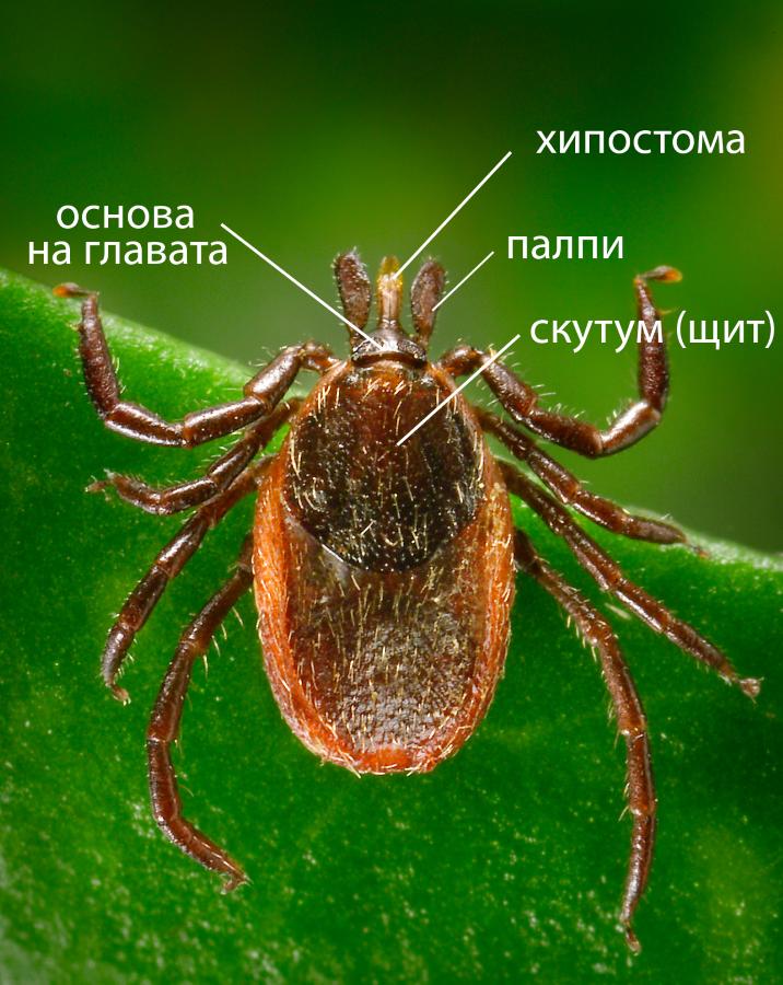 Устройство на женски Ixodes sp. (дорзален поглед – откъм гърба). При мъжките индивиди скутумът покрива цялото тяло.