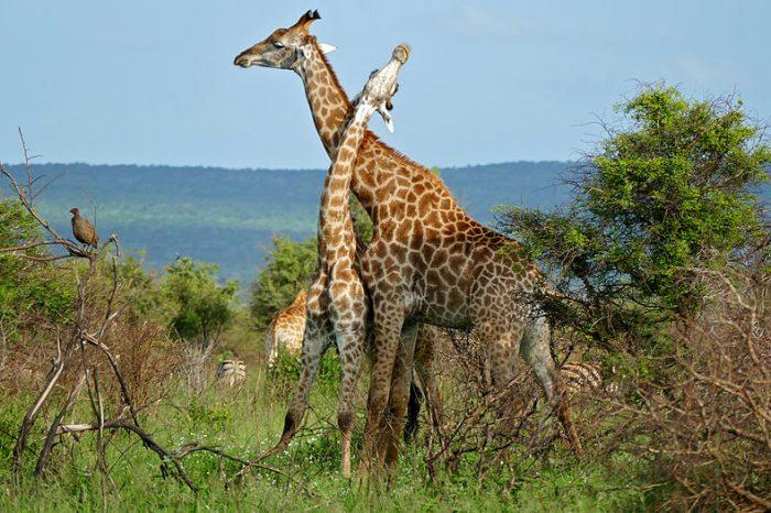Жирафите - тези удивителни създания