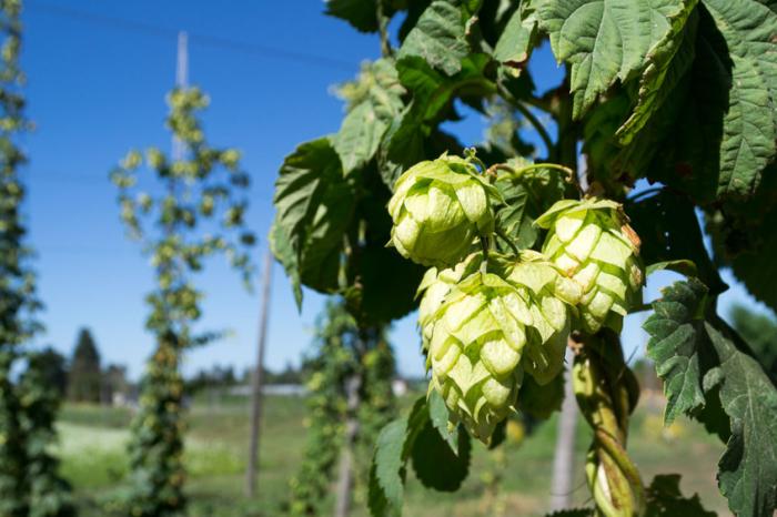 [АУДИО] Учените разграждат бирата, за да създадат следващия антибиотик