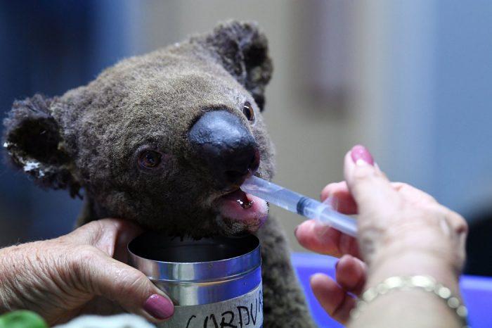 """Австралия е изправена пред """"национална трагедия"""" заради сериозно засегнатата от пожарите популация на коалите"""