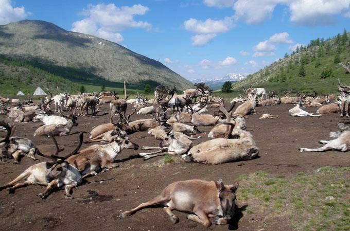 """Загубата на """"вечния лед"""" заплашва начина на живот на монголските северни елени"""