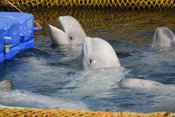 """Русия освободи и последните белуги от прословутия """"затвор за китове"""""""