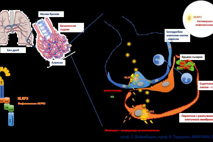 Нови клинични данни потвърждават хипотеза на учени от БАН за ролята на инфламазомата NLRP3 в патогенезата на усложненията при COVID-19