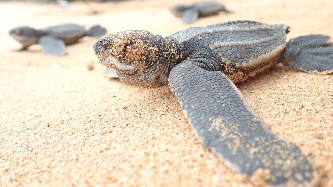 Имаме 10 години да спасим най-застрашените костенурки в света