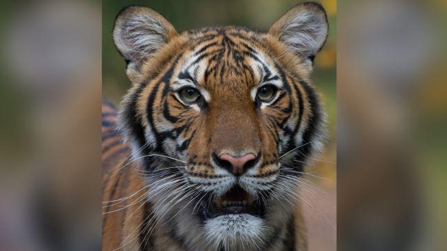 Тигър от зоопарка в Бронкс, заразен с COVID-19