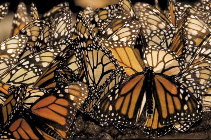Какво убива пеперудите монарх?