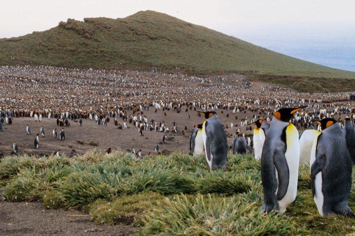 Близо милион кралски пингвини изчезнаха без следа от малък остров