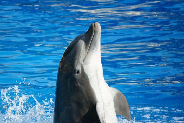 Делфините могат да се научат от връстниците си как да използват черупки, за да ловуват