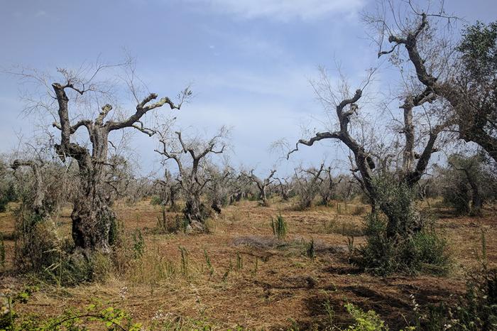 Борбата за спасяване на маслиновите дървета в Европа