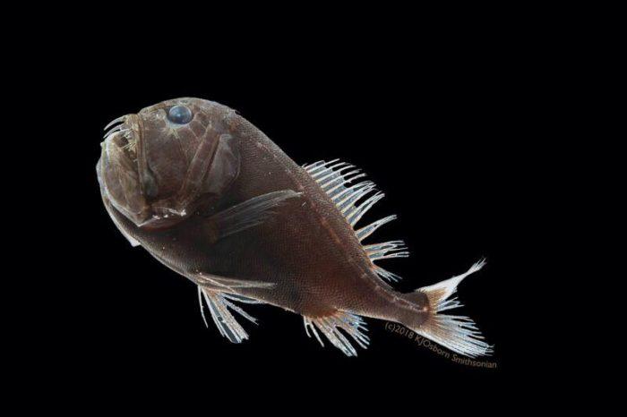 Учените са открили тайната как един вид свръхчерни риби абсорбират светлината