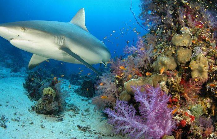 Рифовите акули по целия свят са в беда