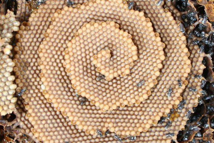 Странните спираловидни пчелни гребени изглеждат като фантастични кристални дворци. Сега знаем защо.