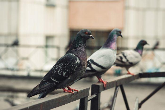 Гълъбите задминават хората, когато става въпрос за мултитаскинг