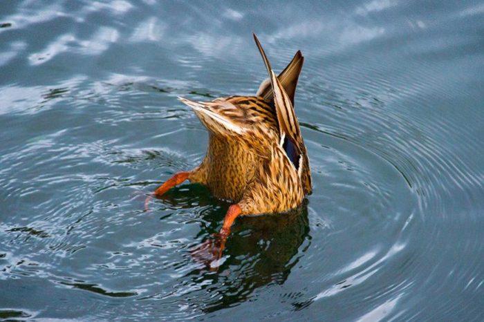 Рибните яйца могат да се излюпят, след като са били изядени от патици