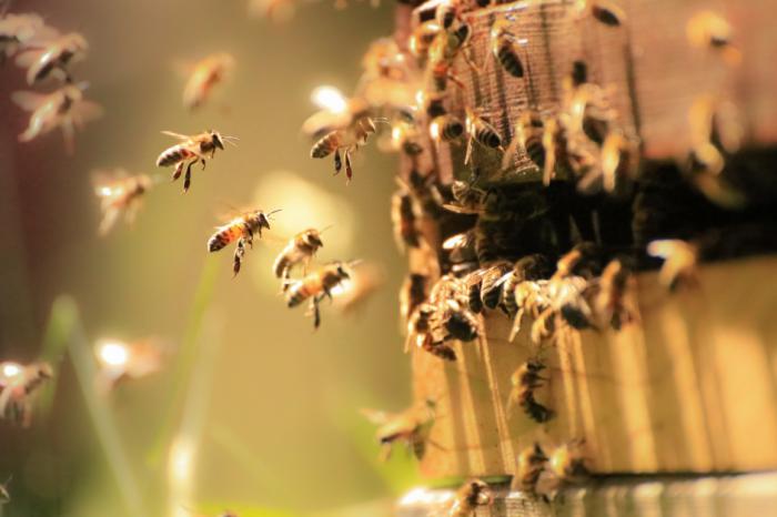 Сведенията за пчелите от миналия век показват спад на видовото им разнообразие