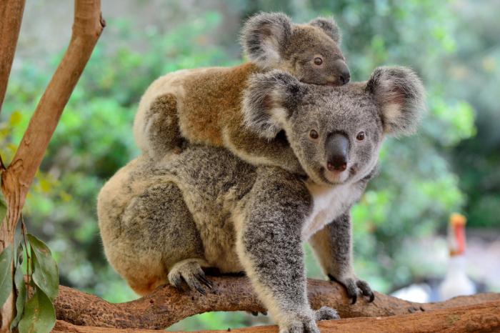 Контрол над раждаемостта при коалите помага да се избегне глад и смъртност сред тях
