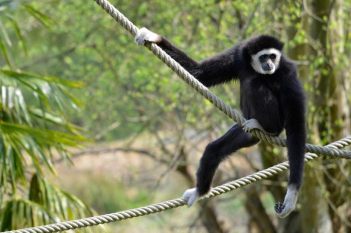 Въжета помагат на застрашени гибони да се спасят от изчезване