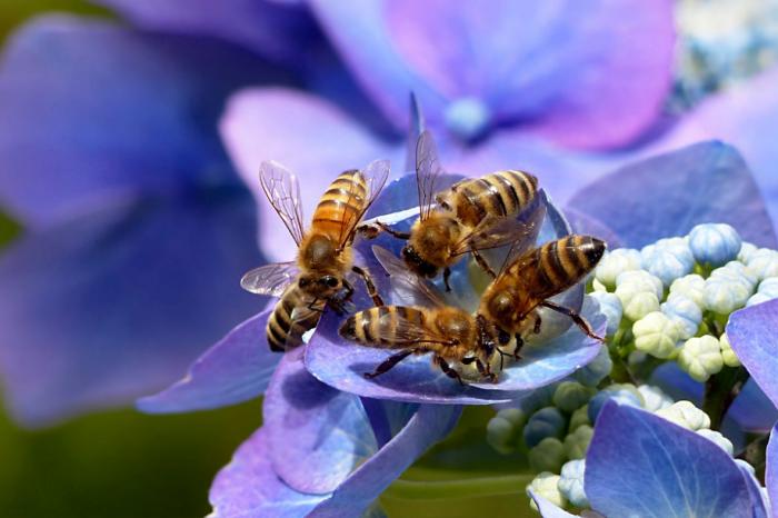 Четвърт от всички видове пчели не са били забелязвани от 30 години насам