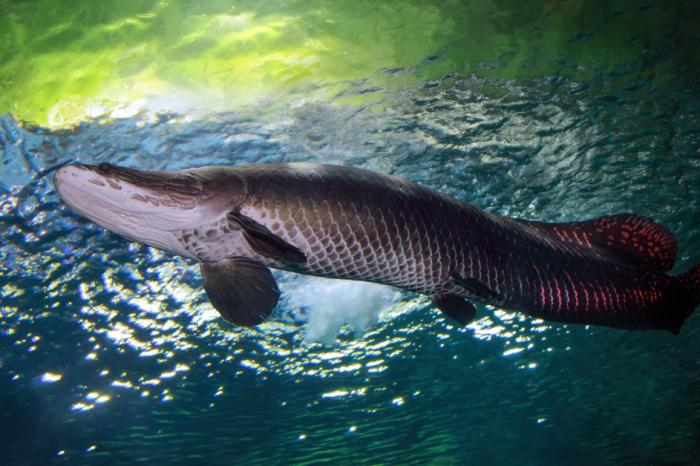 """""""Речното чудовище"""" на Амазония се появи мъртво във Флорида"""