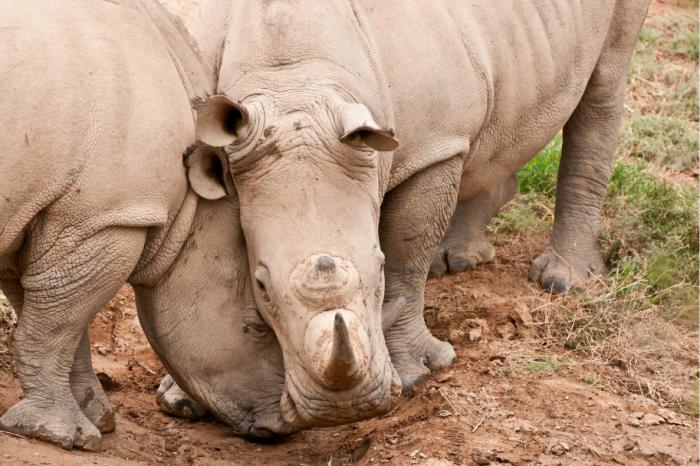 Надеждата да спасим носорозите от изчезване е все още жива