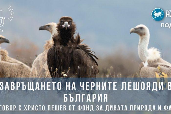 [ПОДКАСТ] Завръщането на черните лешояди в България (разговор с Христо Пешев)