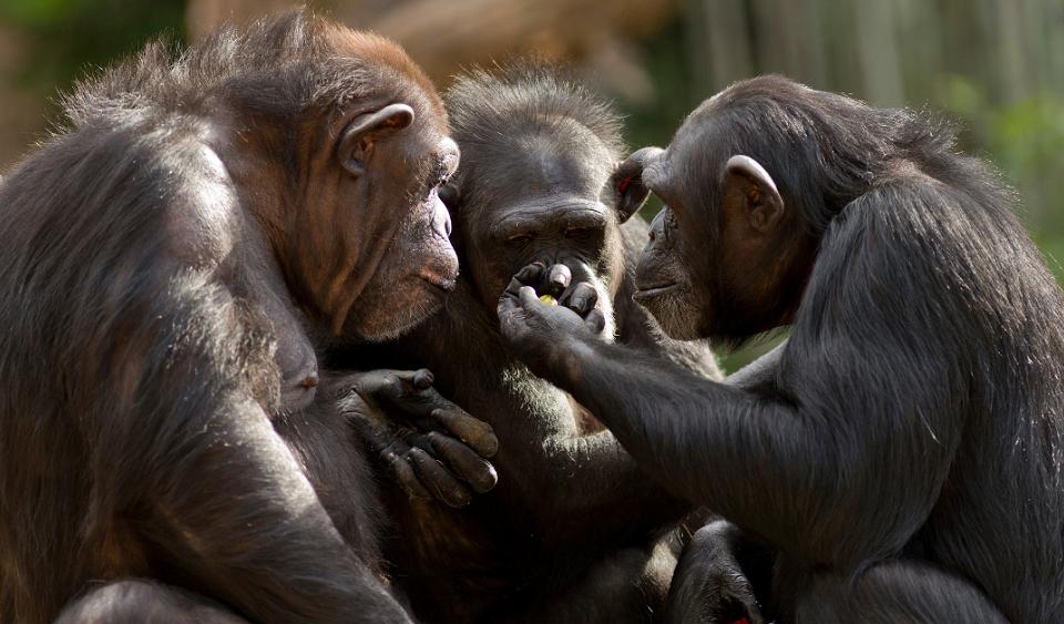 """Изглежда, че шимпанзетата комуникират с изречения от три или повече """"думи"""""""